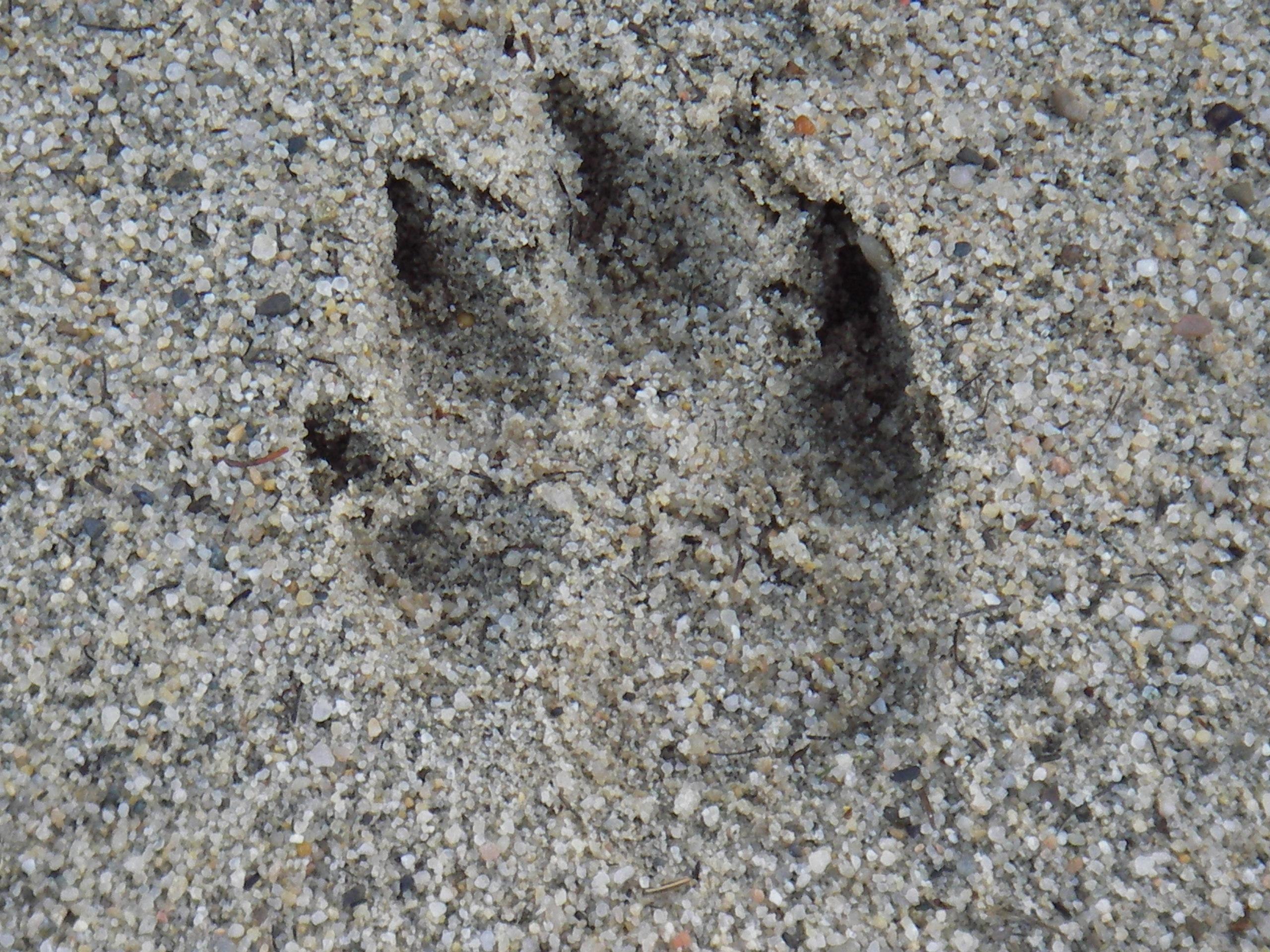 Traces de loup dans les bunkers du golf de Gap Bayard